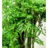 Giống cây đinh lăng